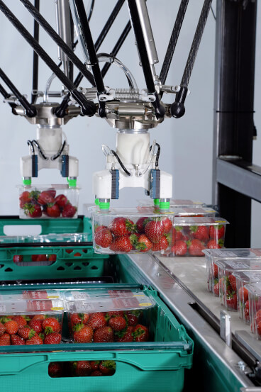 robot strawberries food conveyor side sol